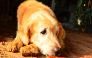 sad golden retriever